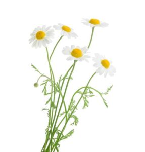 Chamomile for worms in dogs