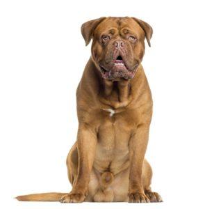 Dogue de Bordeaux – 5 to 7 years