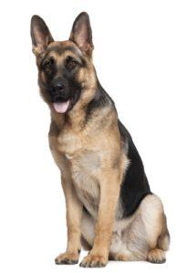 German Shepherd – 10 to 12 years