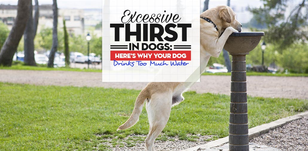 Excessive Thirst in Dogs Guide
