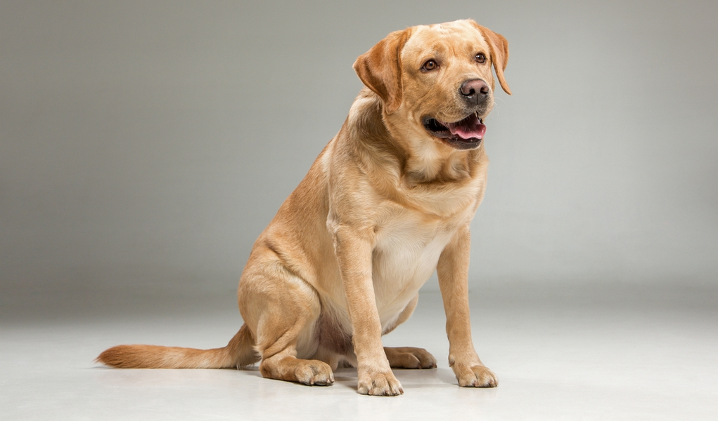 Goldador Dog Breed Information, Photos, Grooming and Care Advice