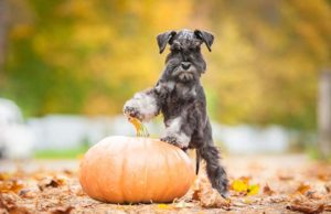 Pumpkin for Dogs - Can Dogs Eat Pumpkin