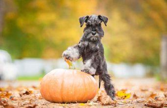 Pumpkin for Dogs - Can Dogs Eat Pumpkin