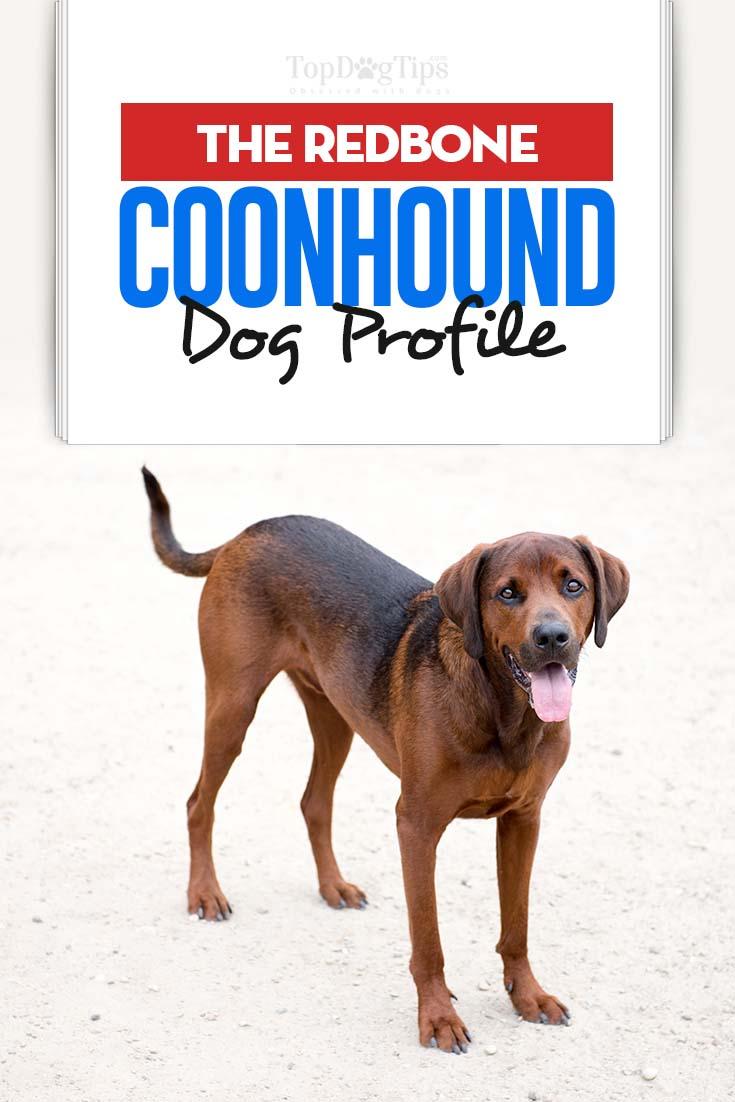 Redbone Coonhound Dog Breed Information, Photos, History ...
