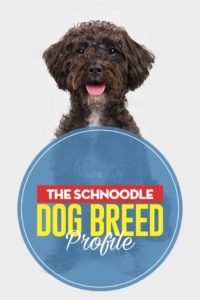 Schnoodle Dog Breed Profile