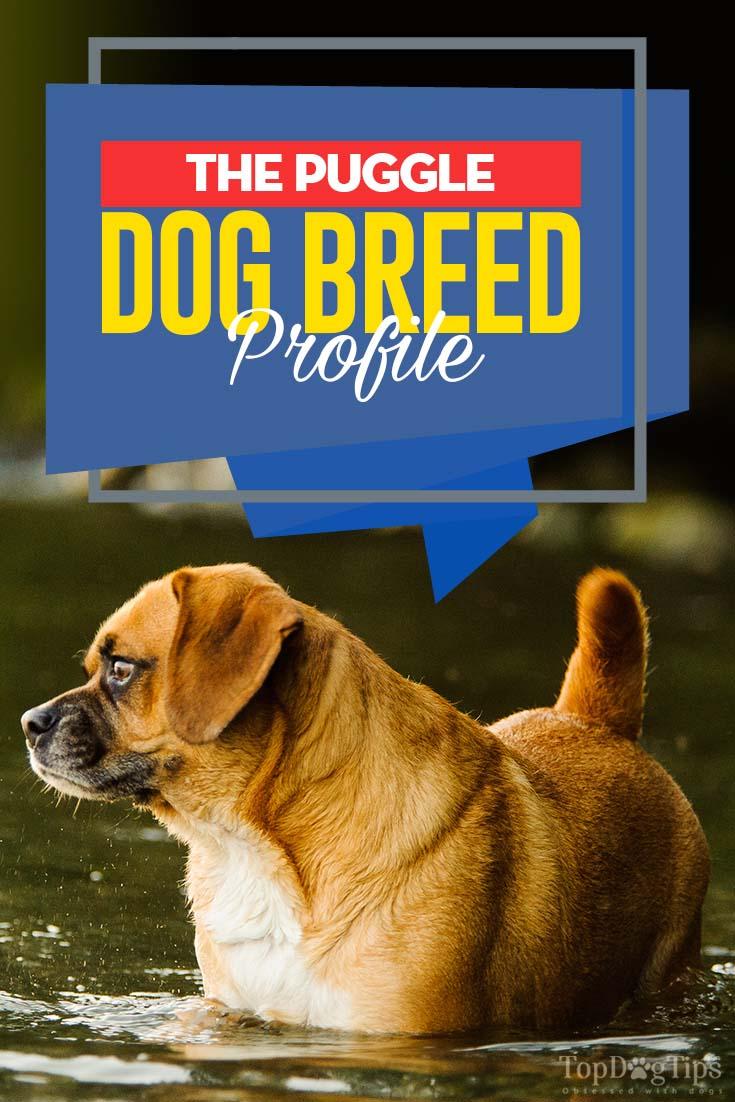 Puggle Dog Breed Information Photos History Feeding And Care Advice