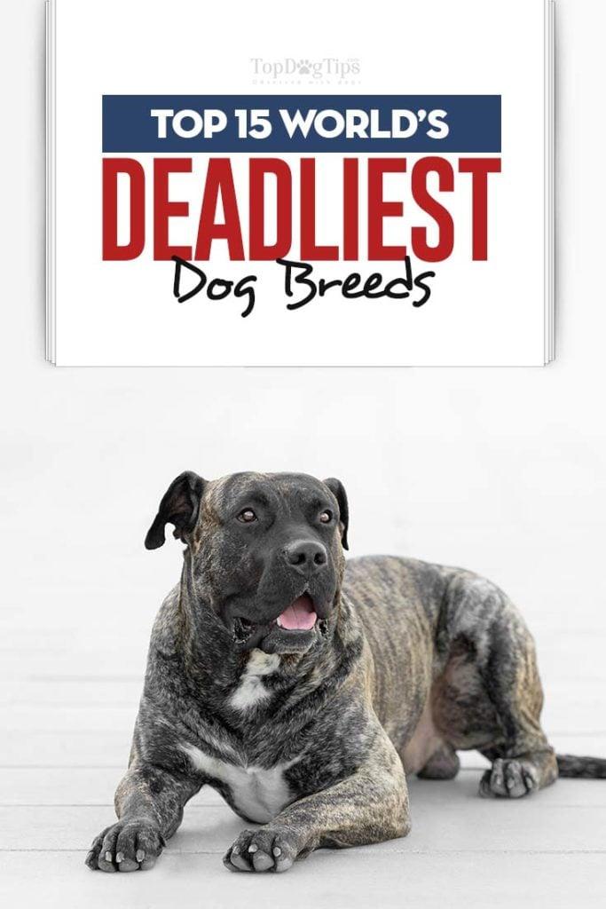 Top 15 World's Deadliest Dog Breeds