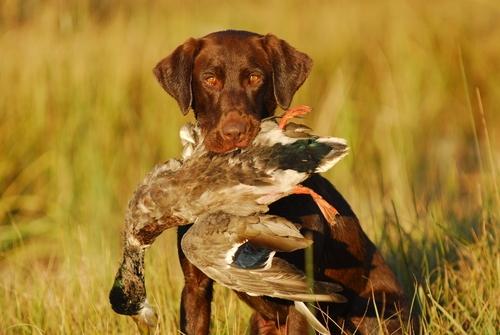 Výsledek obrázku pro hunting dog