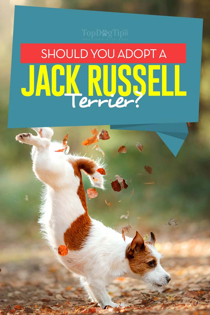 Why Should You Adopt a Jack Russell Terrier