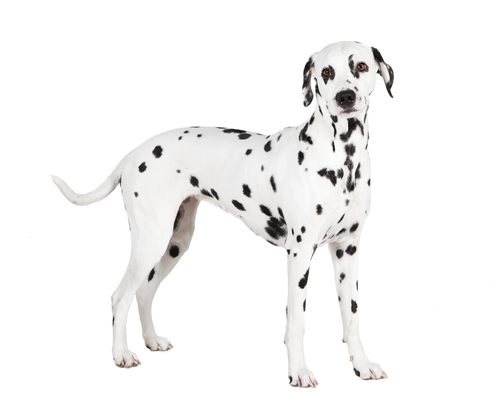 Dalmatian - World's Deadliest Dogs