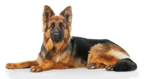 German Shepherd - World's Deadliest Dogs