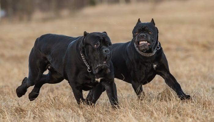 World's Deadliest Dogs