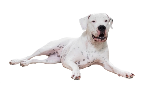 Dogo Argentino - World's Deadliest Dogs