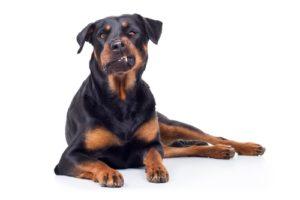 Rottweiler - World's Deadliest Dogs