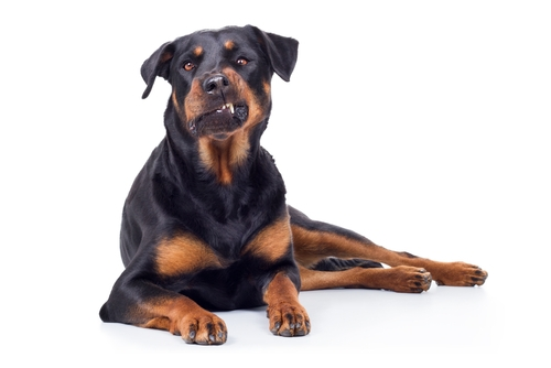 Rottweiler - World's Deadliest Dogs