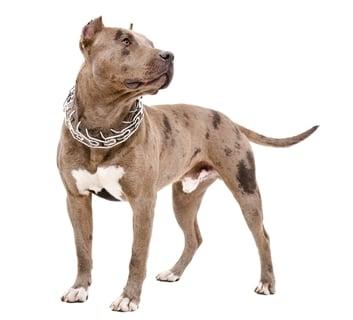 Pitbull - World's Deadliest Dogs