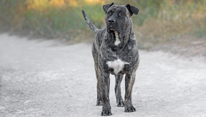 Perro de Presa Canario - World's Deadliest Dogs