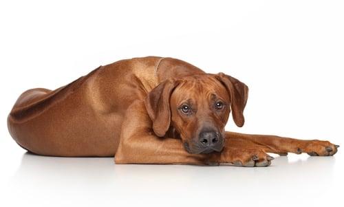 Rhodesian Ridgeback - World's Deadliest Dogs