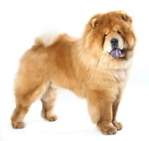 Chow Chow - World's Deadliest Dogs