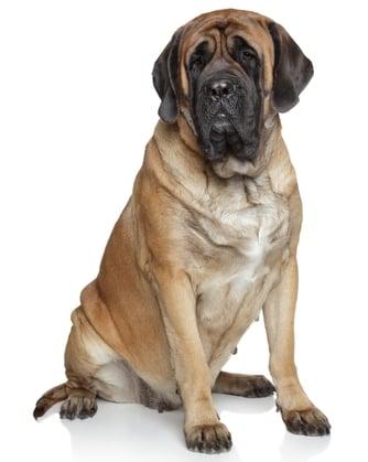 best dog food for english mastiff