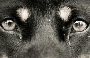 Dog Eye Boogers