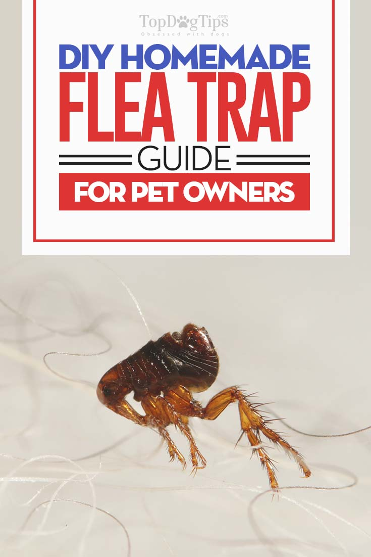 Homemade Flea Trap - The DIY Guide