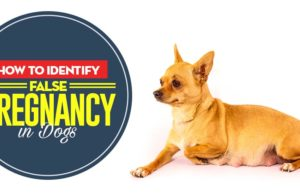 How to Identify False Pregnancy in Dogs