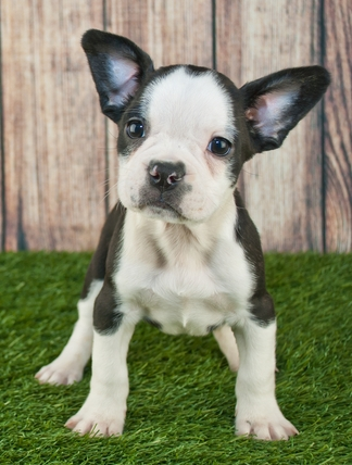 frenchton single parents Don't think only of yourself and buy from an unknowledgeable breeder simply because a single puppy looks decent  do the parents or grandparents have any heart.