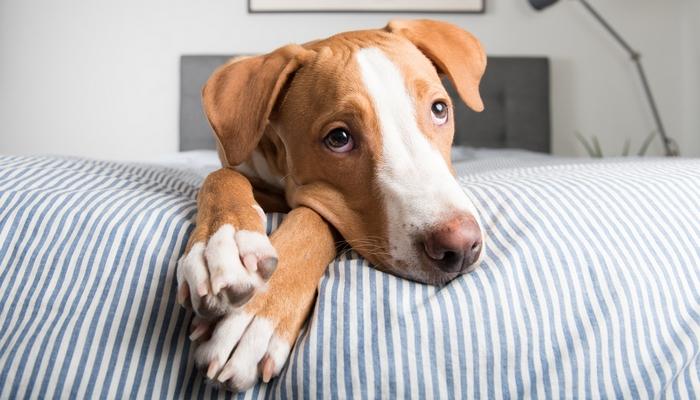 Dog Breeds That Bark A Lot