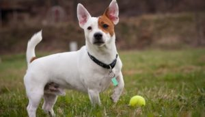 Should You Adopt A Jack Russell Terrier