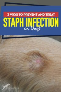 Top 3 Ways to Prevent and Treat Staph Infection in Dogs