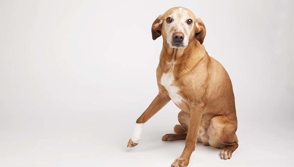 Can I Give Aspirin To My Dog For Arthritis Pain
