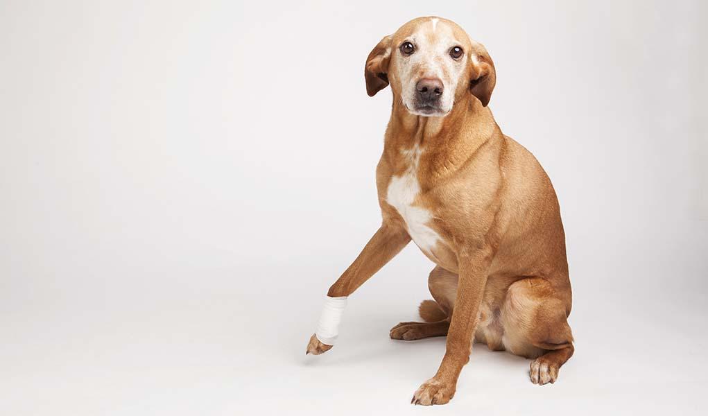 Can i give my dog viagra