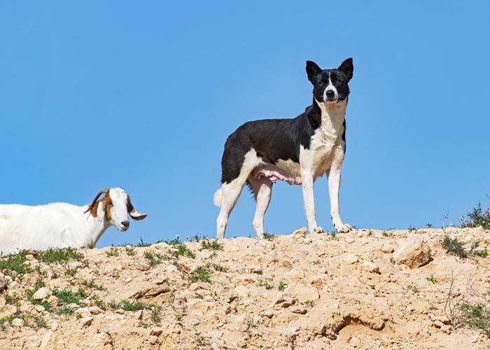 Bedouin Shepherd Dog (Canaan Dog)