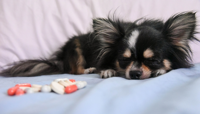 Can You Give Dogs Human Antibiotics