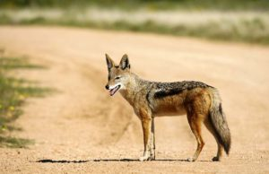 Dingoes Play a Big Role in Interactions Between Domestic Dogs and Humans