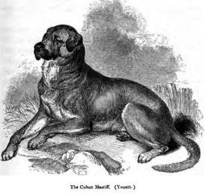Dogo Cubano breed