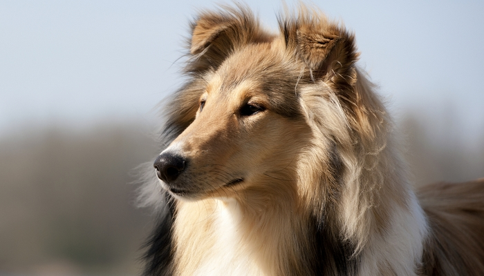 Scotch Collie Farm Dog Breed