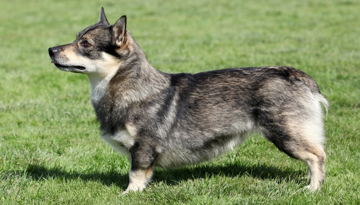 Vallhund Farm Dog Breed