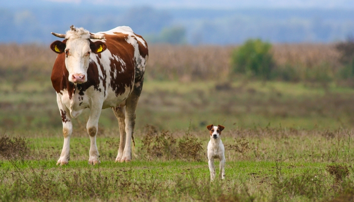 Jack Russel Terrier - Farm Dog Breeds