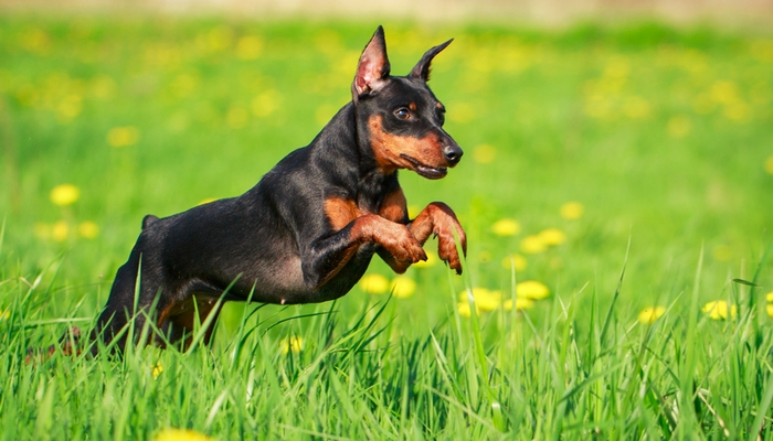 Miniature Pinscher - Farm Dog Breeds