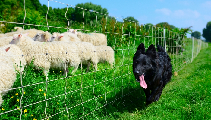 Best All-around Farm Dog Breeds