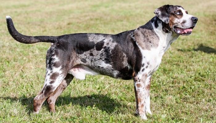 Catahoula Leopard Dog - Farm Dog Breeds