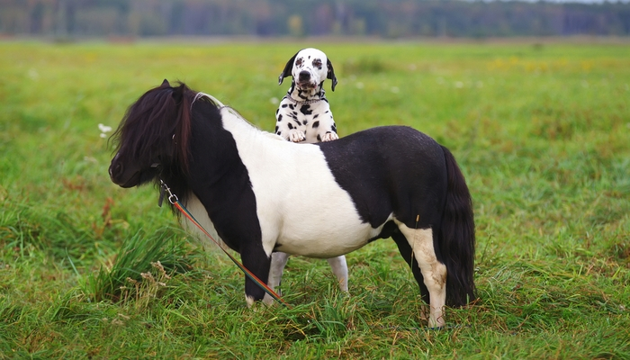 Dalmatian Farm Dog Breed