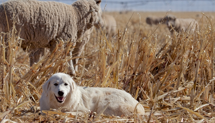 Great Pyrenees Farm Dog Breed