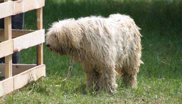 Komondor Farm Dog Breed