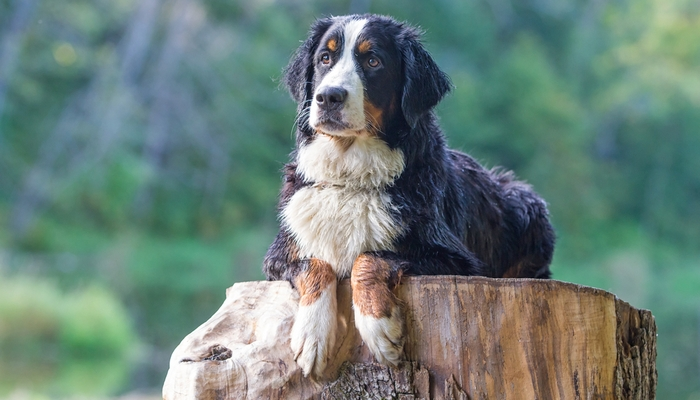 Bernese Mountain Dog Farm Dog Breed