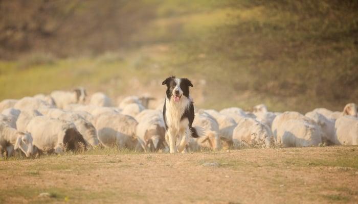 Border Collie Farm Dog Breed