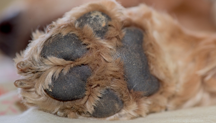 How to Manage Hyperkeratosis in Dogs