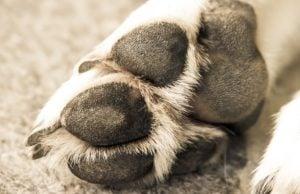 Hyperkeratosis in Dogs